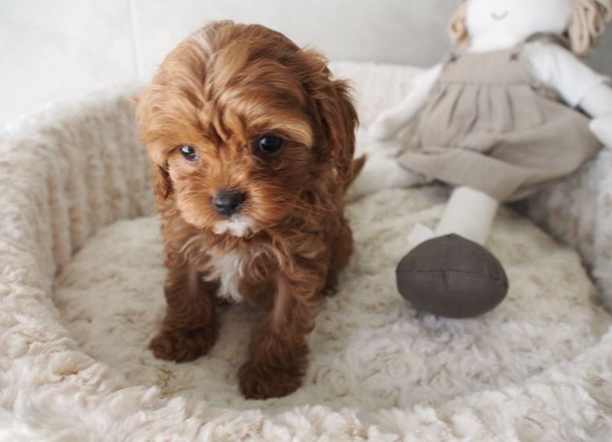 Cavoodle Cute Dogs And Puppies Cute Baby Animals Cute Dogs