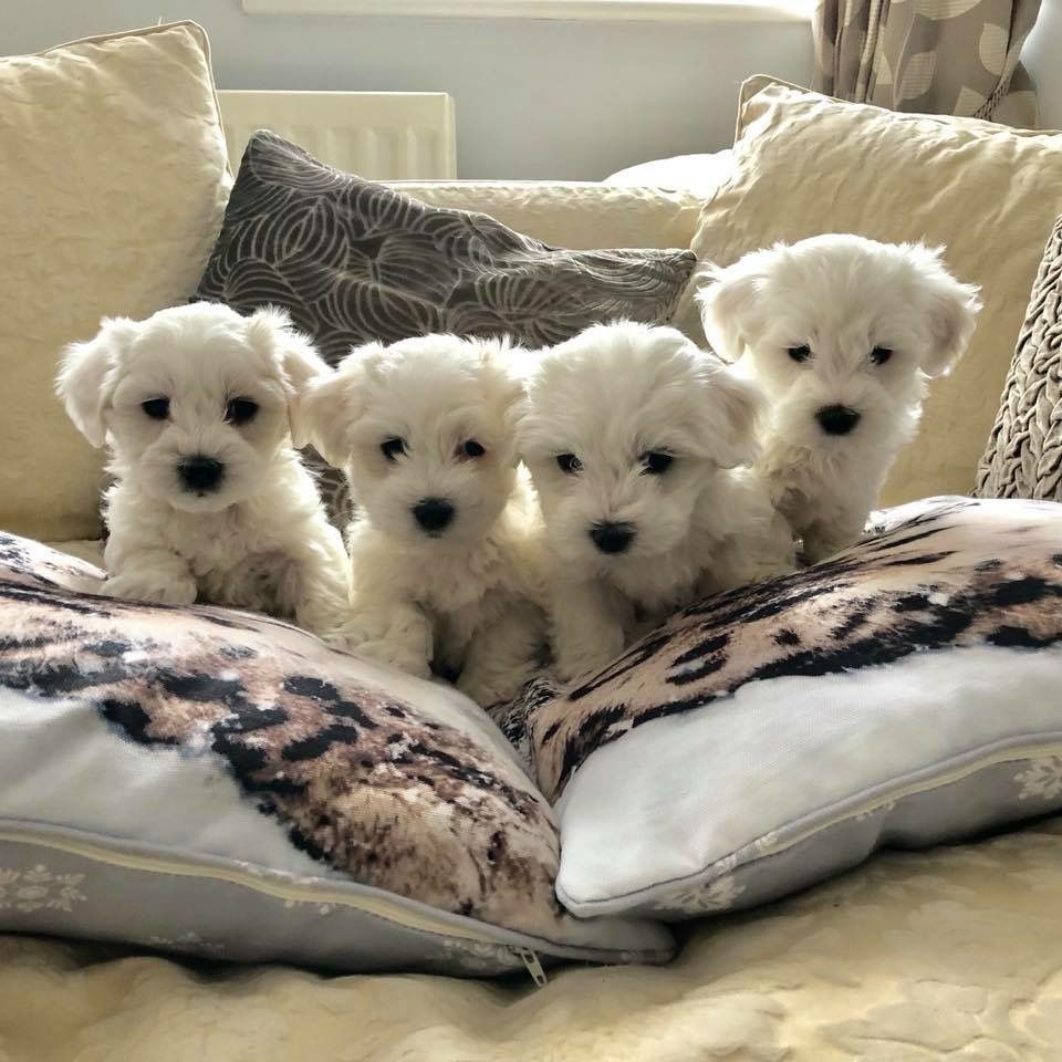 Things Dog Owners Should Consider Before Adopting A Puppy Dogs Dogs Puppies Puppies Near Me