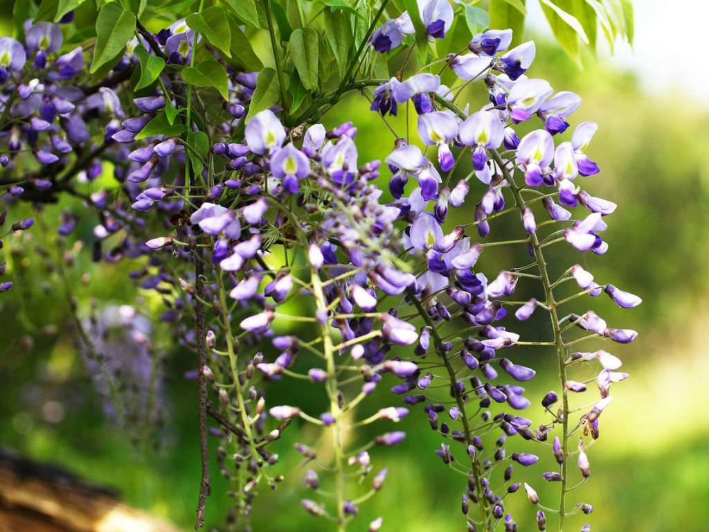 Wisteria Floribunda Japanese Wisteria Is A Woody Deciduous Twining Climber It Can Grow Up To 30 Feet 10 M Long Over Many Supports