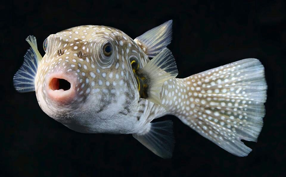 White Spotted Pufferfish Arothron Hispidus Is A Medium Sized Puffer Fish Light Grey In Color With Small White Spots It Also Has Puffer Fish Fish White Spot