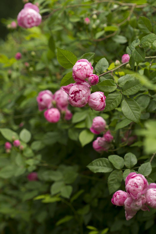 Rosa macrantha 'Raubritter' | Gammaldags busk- och klätterros som även är en marktäckande ros. Små till medelstora (4-6 cm i diameter), halvfyllda till fyllda rosa blommor som ljusnar till ljusrosa. Engångsblommande. Svag till medelstark doft. Varierande antal taggar. 1,5 x 2,5 m (som uppbunden klätterros 3 m). Zon 1-4.