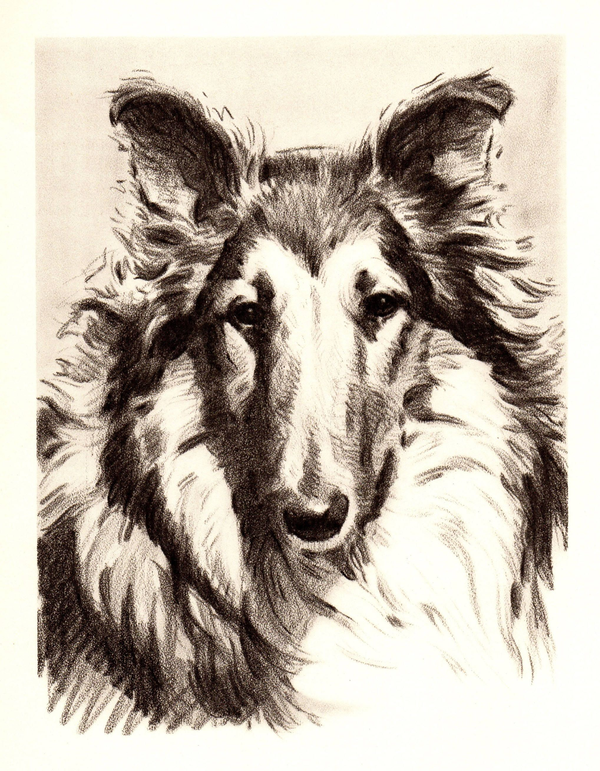 Vintage Collie Dog Print Antique Collie Illustration 1940s Black