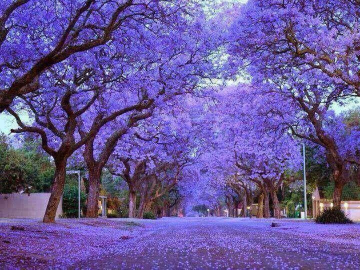 Jacaranda Trees Landscaping Pinterest Royals Gardens And
