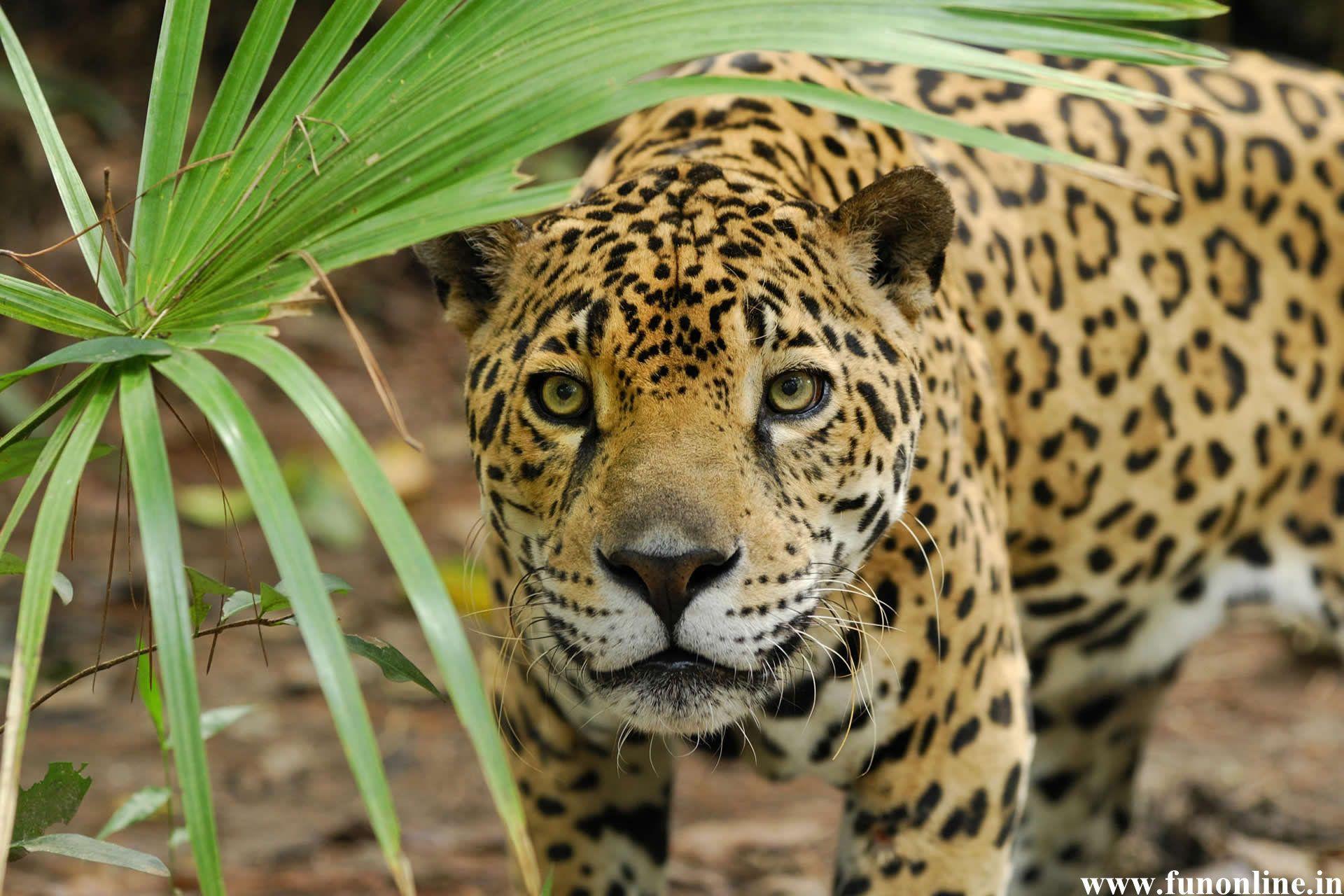 jaguar wallpapers, stunning jaguar hd wallpapers for free download