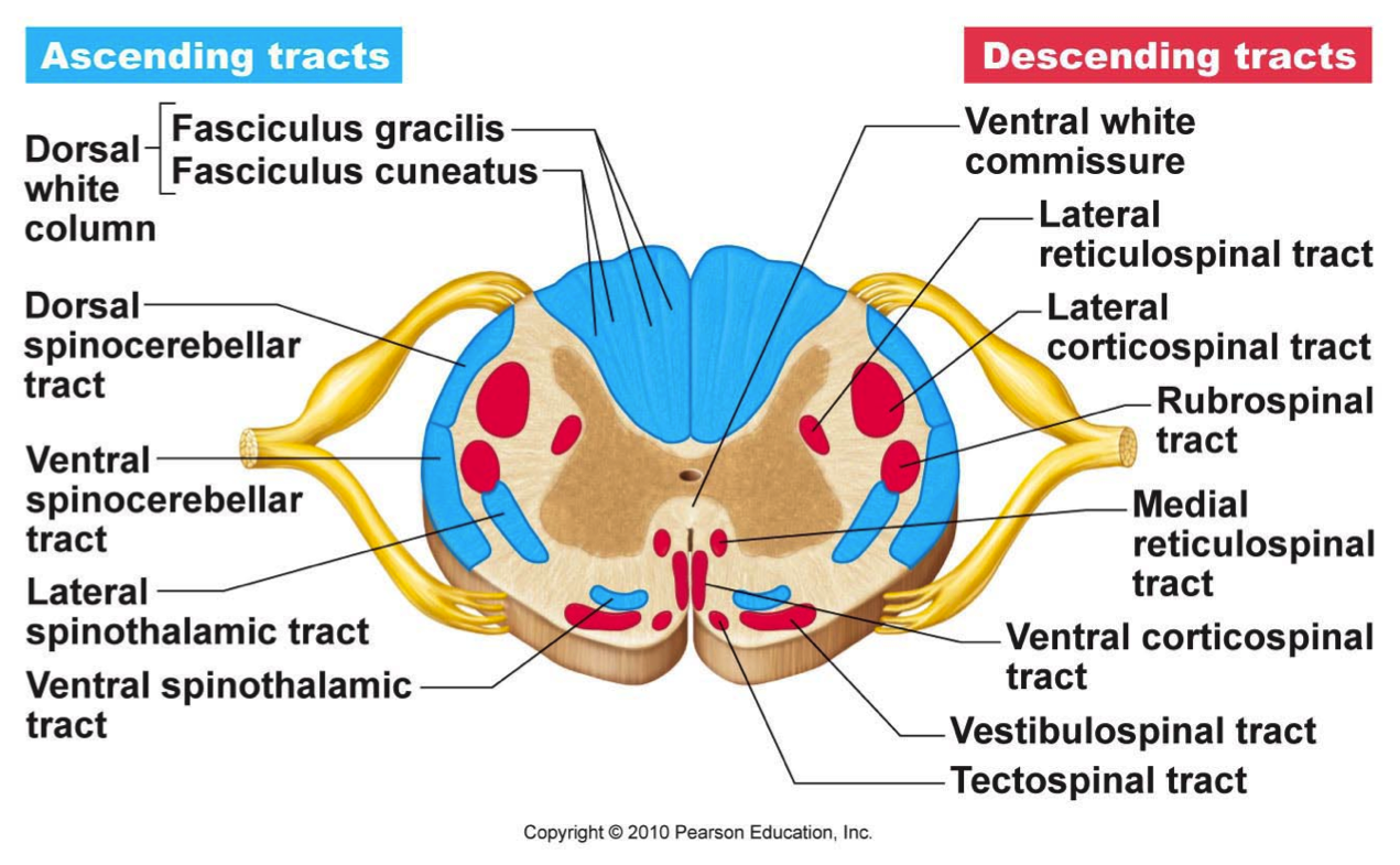 the spinal cord cross section - Google Search | Neuroanatomy ...