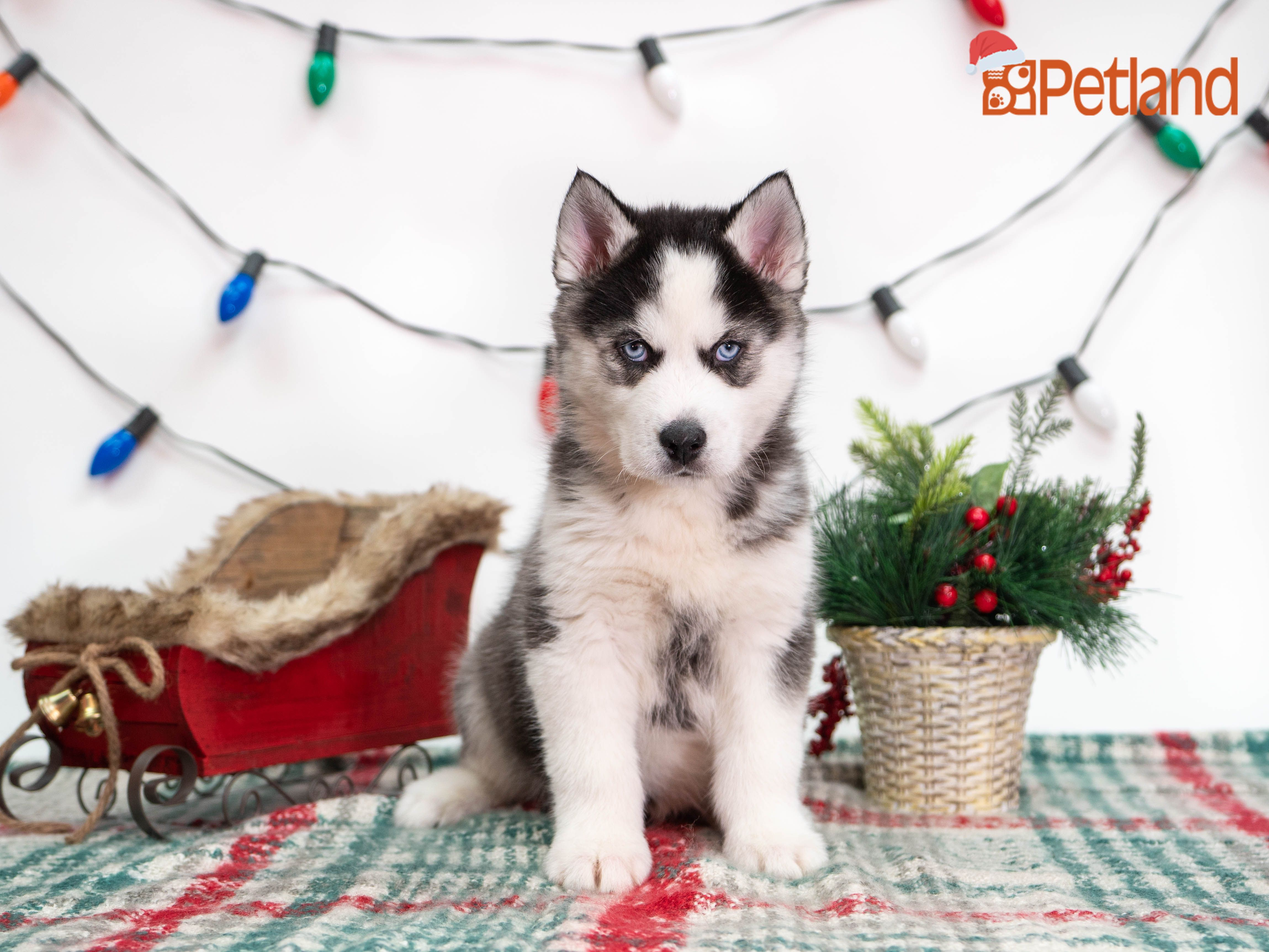 Puppies For Sale (With images) Puppy friends, Husky