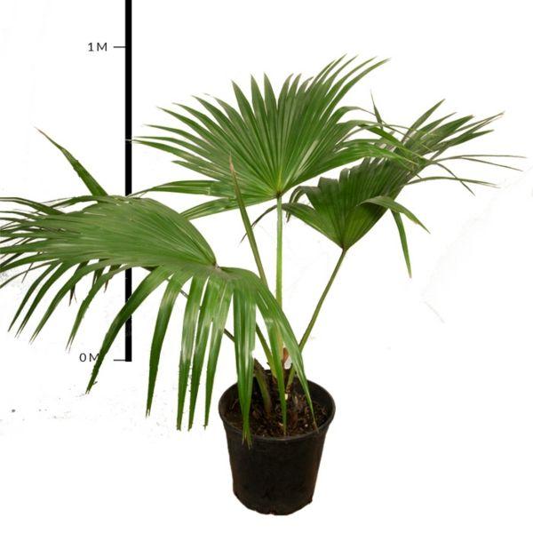 Die hanfpalme im garten oder als zimmerpflanze beides - Bambus zimmerpflanze pflege ...