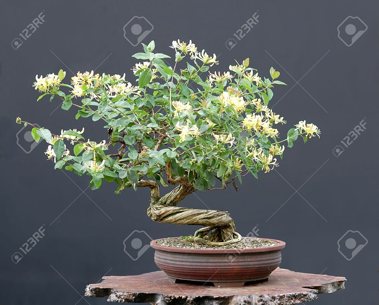 Walter Pall Honeysuckle Bonsai