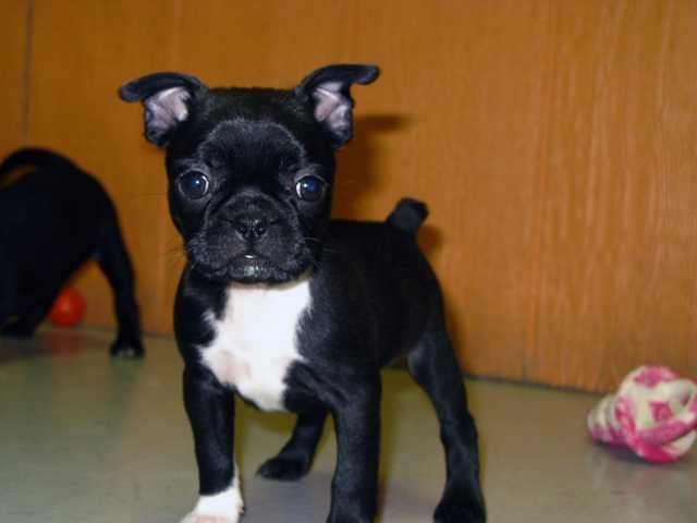 Bug For Sale : Other Dog and Puppy Breeds For Sale | cute