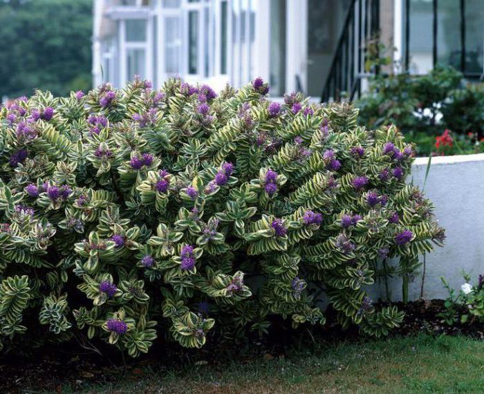 Roslina Ozdobna Cheb Pielegnacja Hodowla Cechy I Opinie Ornamental Plants Plants Garden