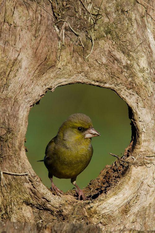 applecottage.quenalbertini: Green bird