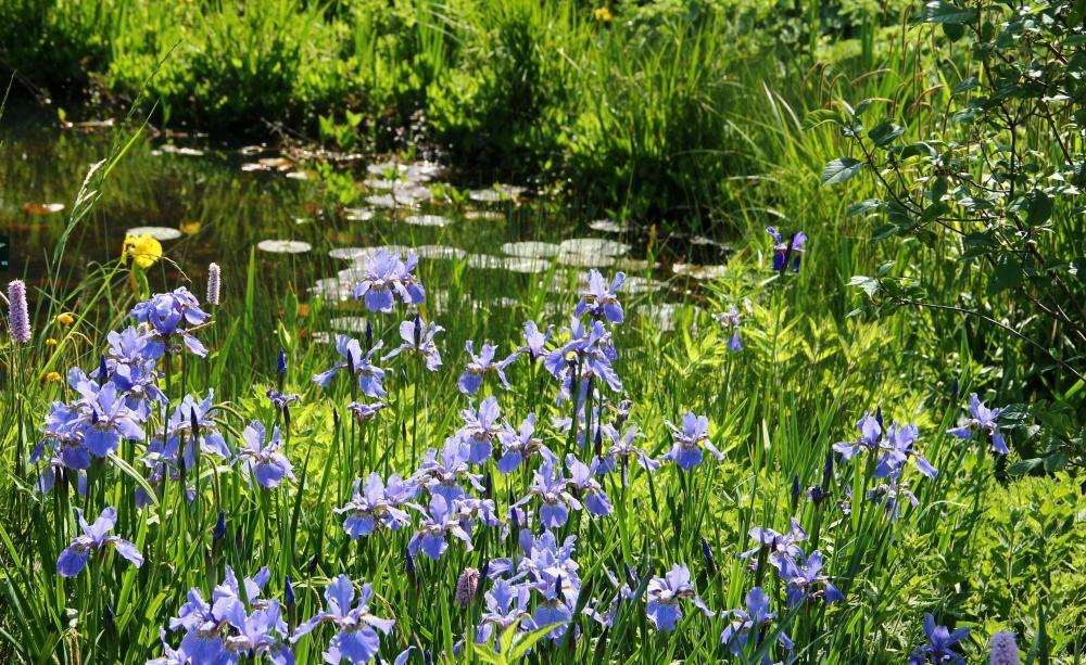 wasserpflanzen im teich einsetzen fleurs jardin pinterest teich pflanzen und garten. Black Bedroom Furniture Sets. Home Design Ideas