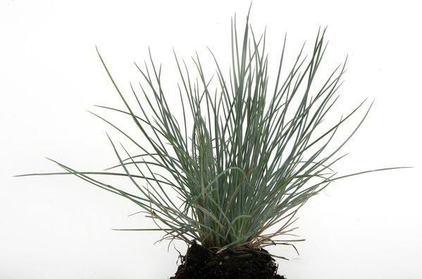 When blue fescue turns brown do you revive or replace for Brown ornamental grass plants