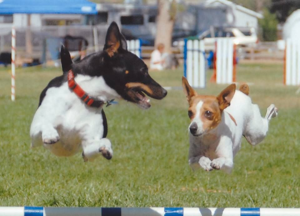Rat Terriers Agility Rat Terriers Sporting Dogs Dog Agility