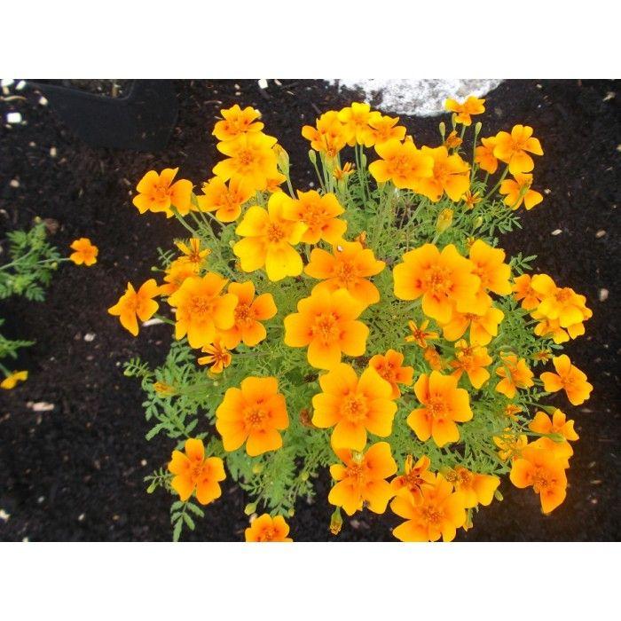 illet d 39 inde orange tag te herbac es cultiver l 39 abondance plantes vivaces comestibles. Black Bedroom Furniture Sets. Home Design Ideas