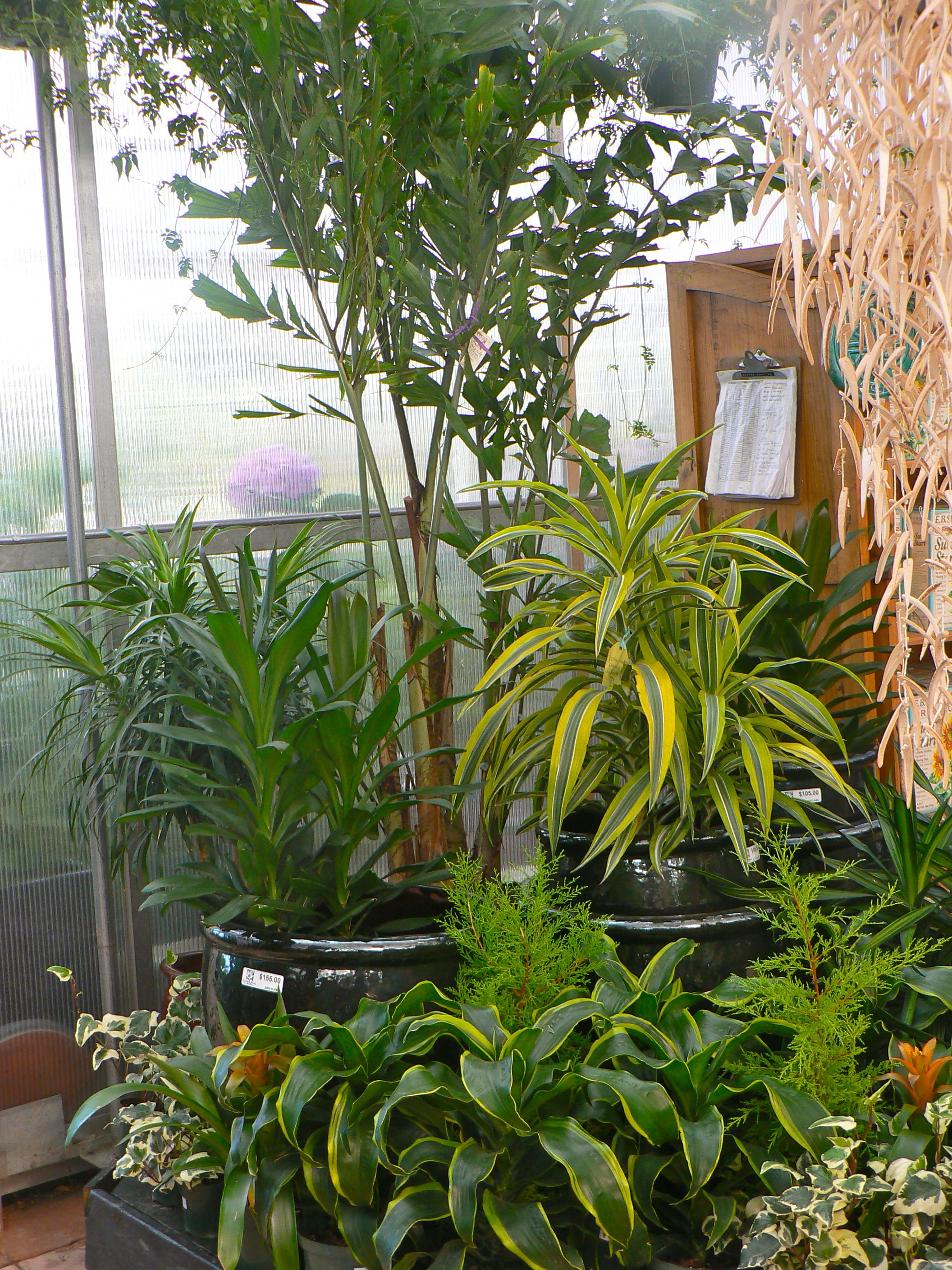 Display 2010 Featuring Different Types Of Dracaena Houseplants