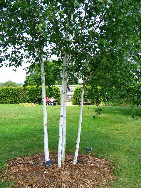 Silver birch trees global sophistication smart green for Garden law trees