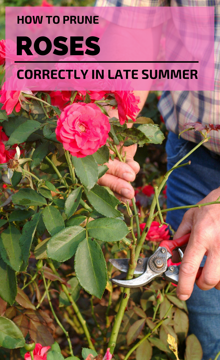 How To Prune Roses Correctly In Late Summer Roses Latesummer Pruning Pruning Roses Prune Flowering Bushes