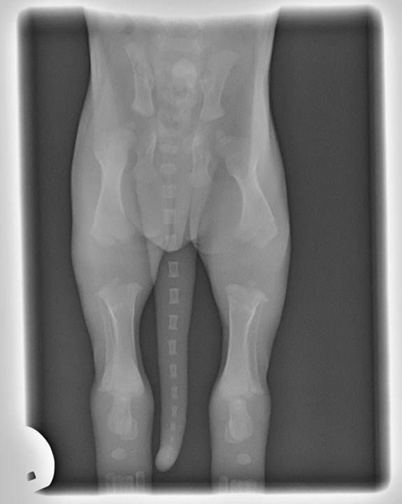 Puppy Growth Plates And Exercise Puppies Feeding Puppy X Ray