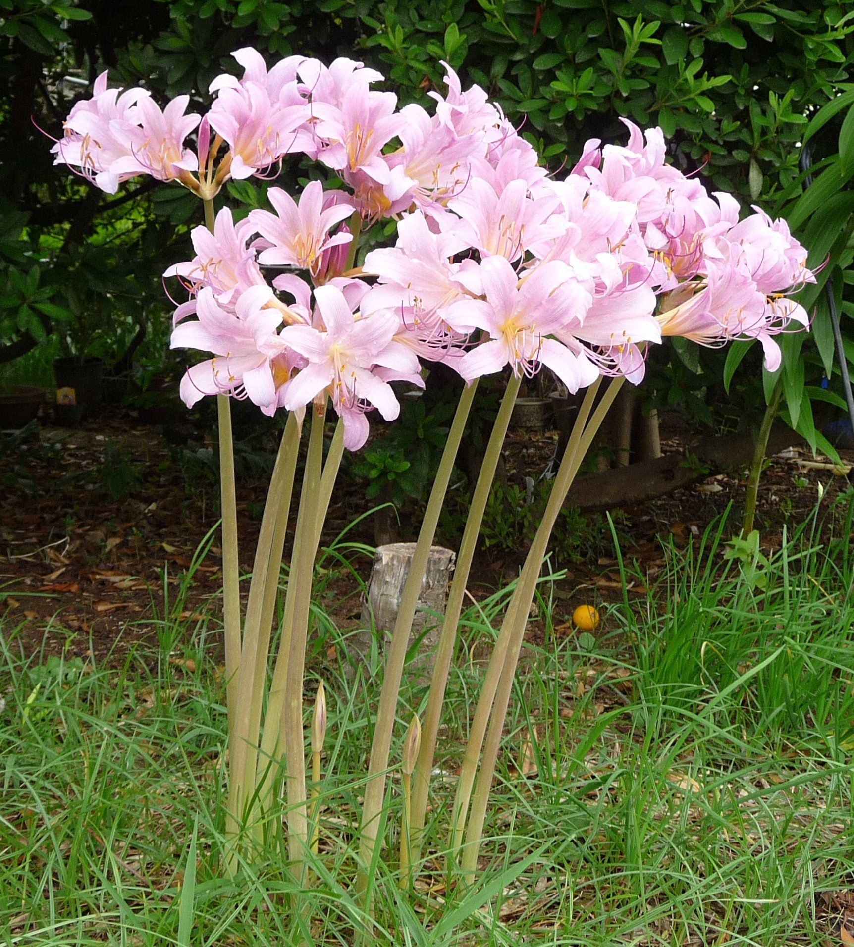 A plant that goes by the names of resurrection lily magic lily and a plant that goes by the names of resurrection lily magic lily and even the surprise lily is enough to make gardeners stop in their tracks those who grow izmirmasajfo