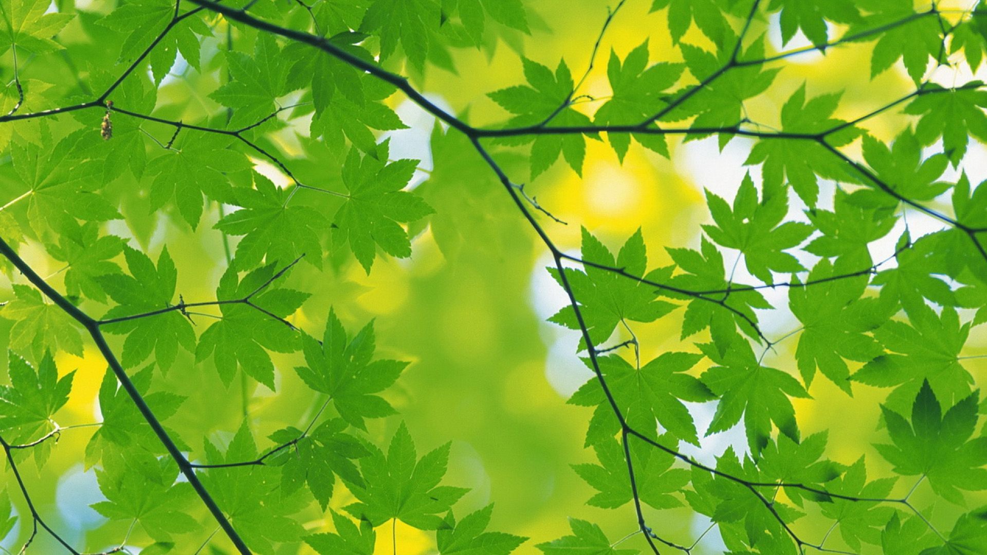 Fresh Green Leaves Wallpaper Backgrounds Pictures And Images