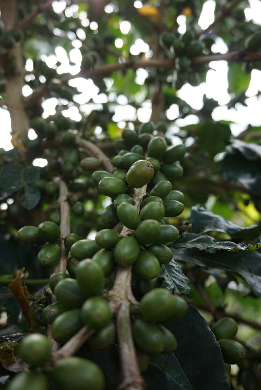 Coffee cherry from ladang isabella,simalungun. By lisa and