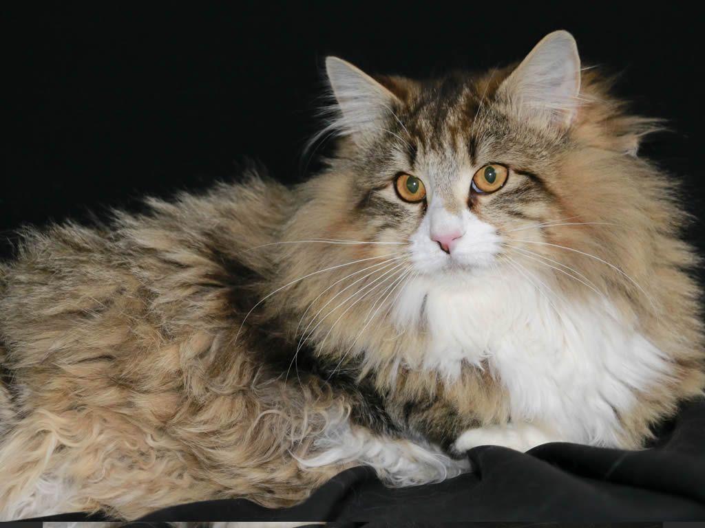 Norwegian Forest cat OMBRA DEL NORD BAY BREEZE Foreste