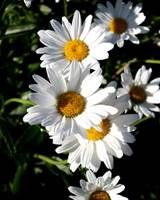 free high resolution photograph features a collection of white daisies ...