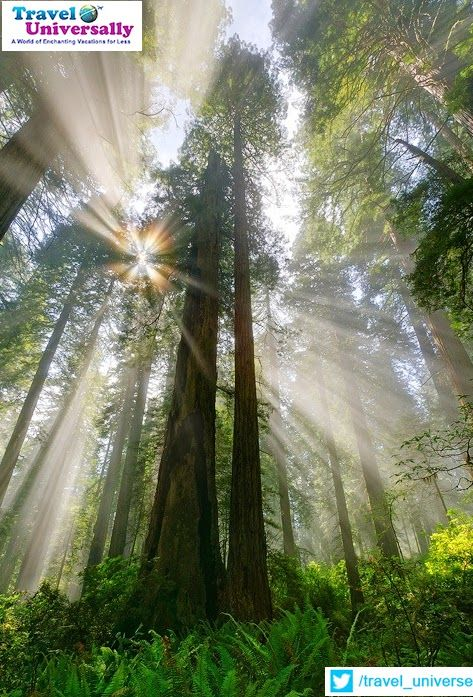 Wouldn't you wish to be here and experience the purity of The Nature ?  It's Redwood Rain Forest,California,USA  By the way do you know, The coast redwood is the tallest tree species on Earth?  For more travel updates be connected to  Travel Universally