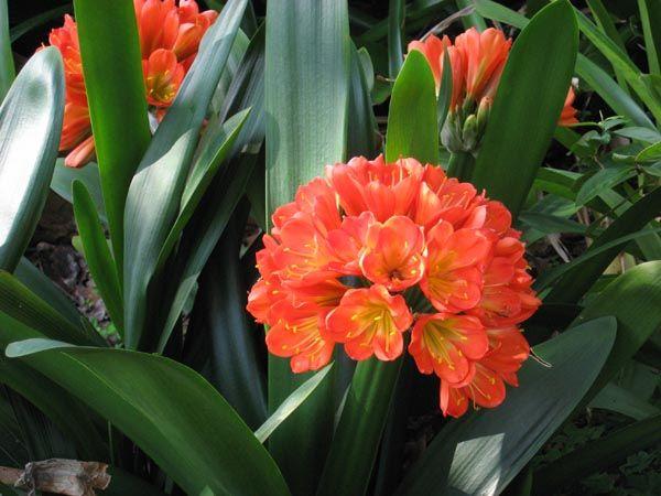Kaffir Lily Schizostylis Flowers Gardening Shade
