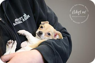 Pictures of Andie Walsh a Chihuahua Mix for adoption in Redmond, WA who needs a loving home.