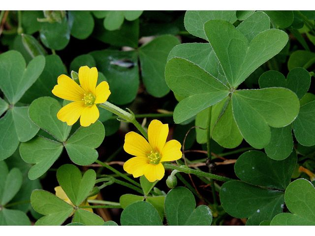Oxalis Stricta Common Yellow Oxalis Wild Flowers