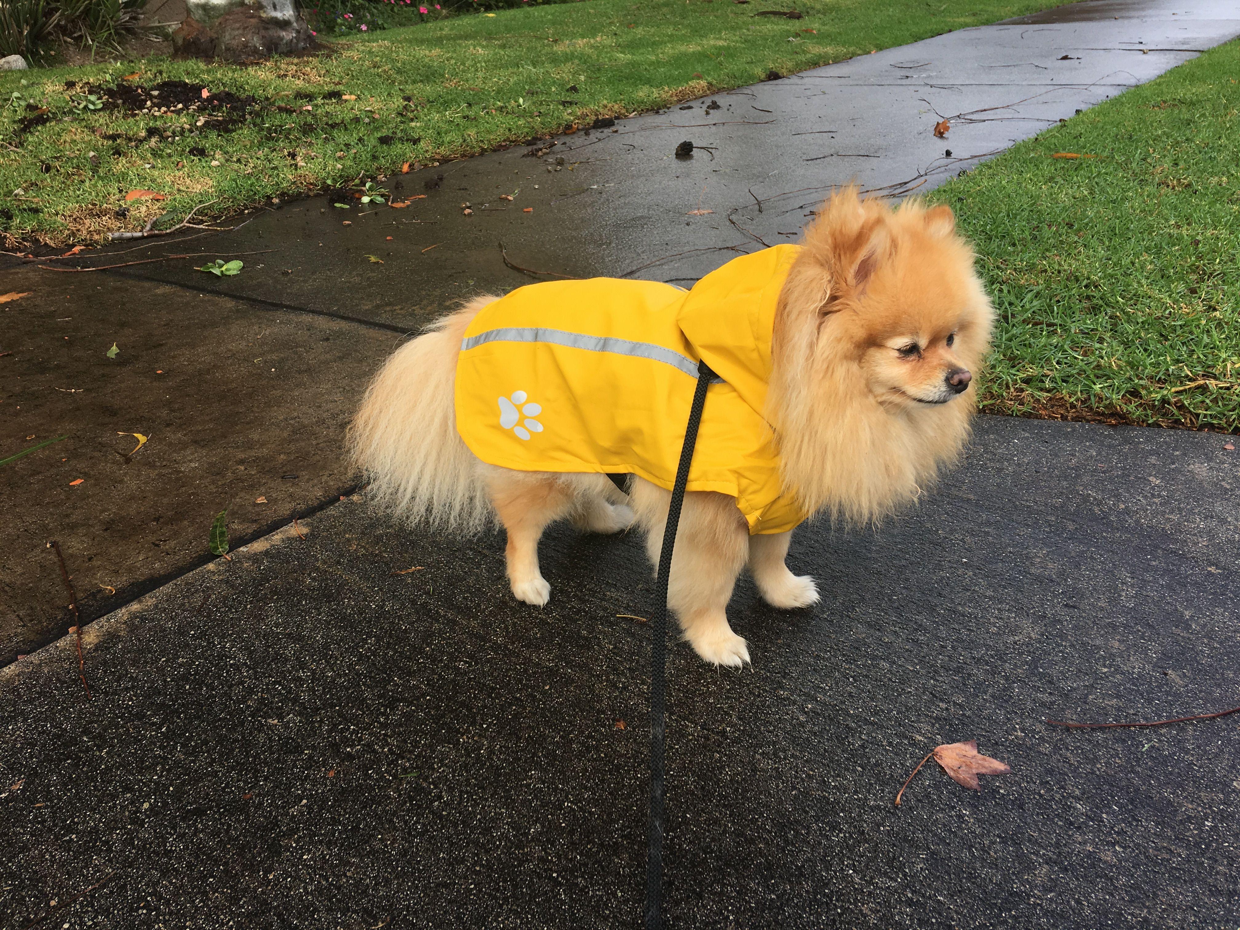 lola u0027s new raincoat from petsmart pomeranian lola the