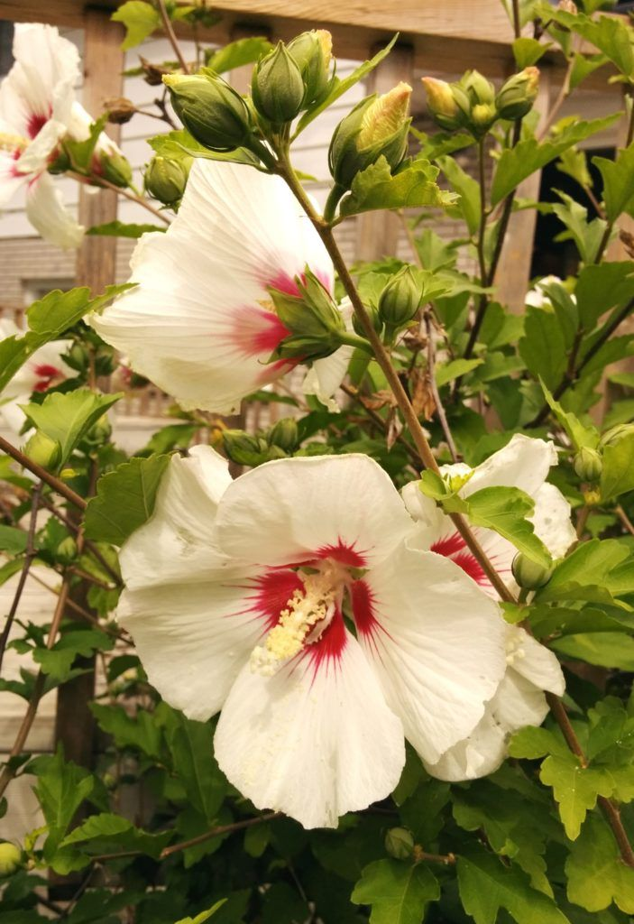 Hibiscus syriacus 'Red Heart' BambooPlants.ca Rose of