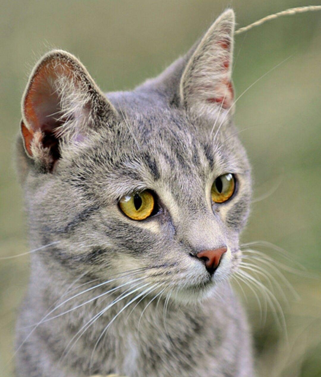 Moonflower Grey tabby cats, American shorthair cat