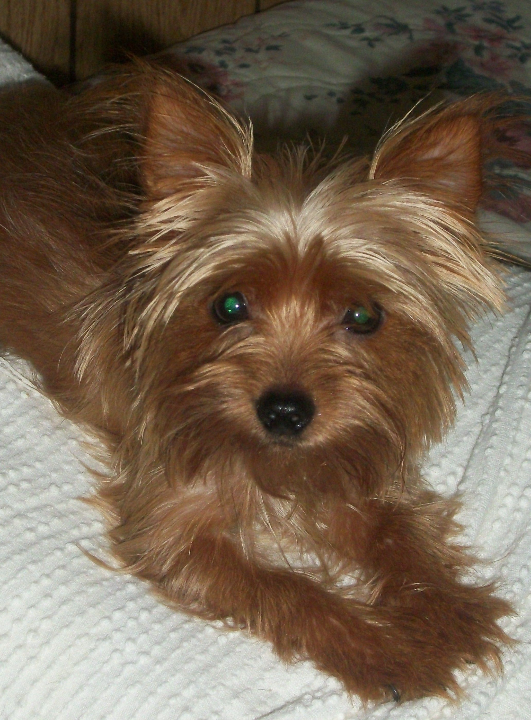 I Have 5 Yorkies This Is One Of My Other Teacup Blonde Yorkies Her Name Is Angel Starr Trent We Call Her Starr She Is So Lovable Yorkie Small Dogs Fur Babies