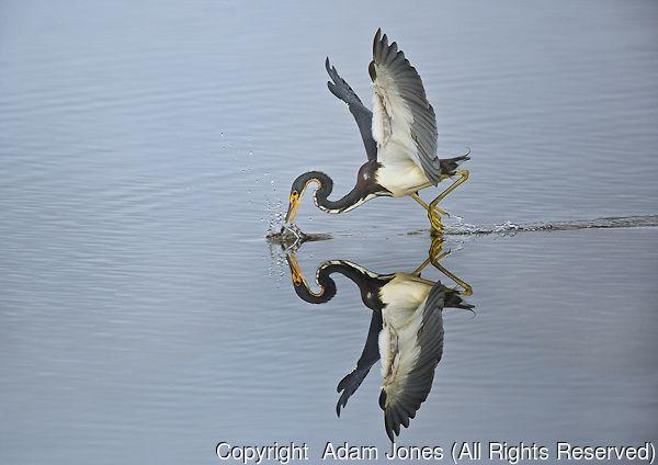 Tri color Heron fishing, Ding Darling National Wildlife Refuge, Florida