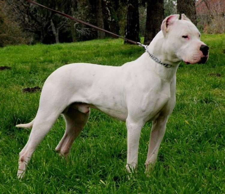 Dogo Argentino Dogo Argentino Dog Dog Argentino Dangerous Dogs