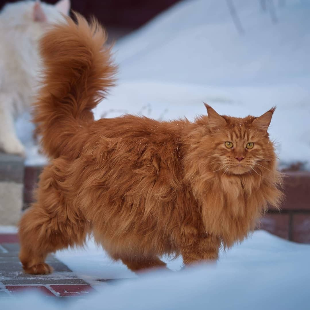 Pin By Mino 276 On Cat S Pajamas Siberian Cat Siberian Forest Cat Siberian Kittens