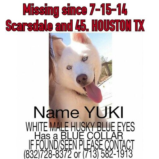 Lostdog Houston Tx Yuki Is A White Male Husky With Blue Eyes