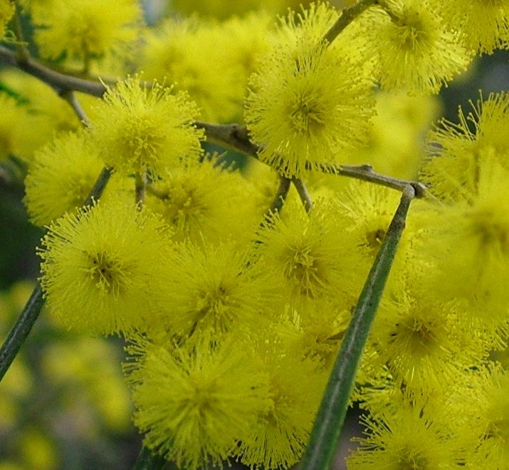 Acacia Adunca Wallangarra Wattle Is A Small Open Tree