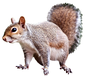 Pin by Dorothy Clive Garden on CLIP ART Squirrel clipart