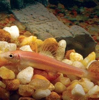 Gold Algae Eater Freshwater Fish Live Freshwater Fish Fish