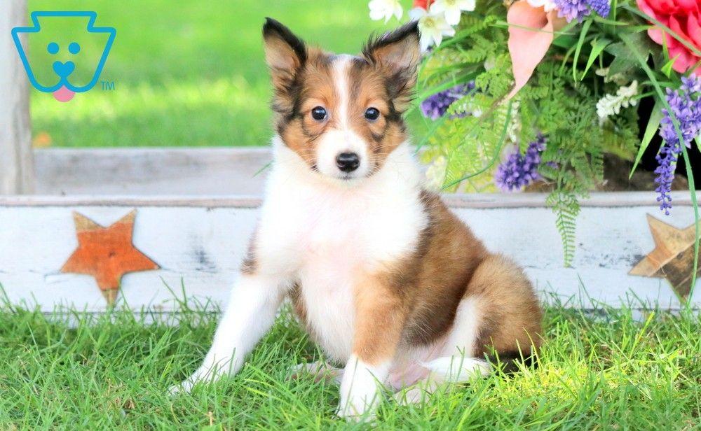 Scooby Shetland Sheepdog Sheltie Puppy For Sale Keystone Puppies In 2020 Sheltie Puppy Shetland Sheepdog Puppies Sheltie Puppies For Sale
