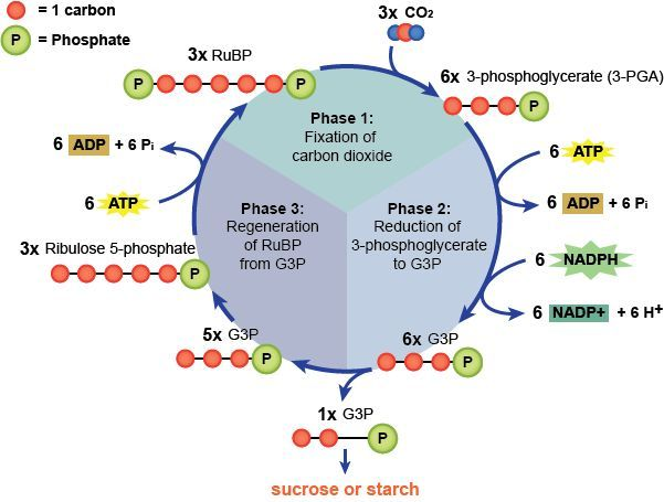 Photosynthesis light dependent #photosynthesis #light # ...