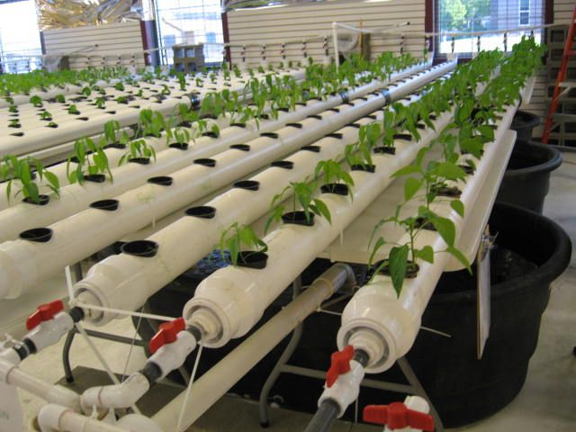 Aquaponic lettuce aquaponics farmponika pinterest for Aquaponics fish for sale