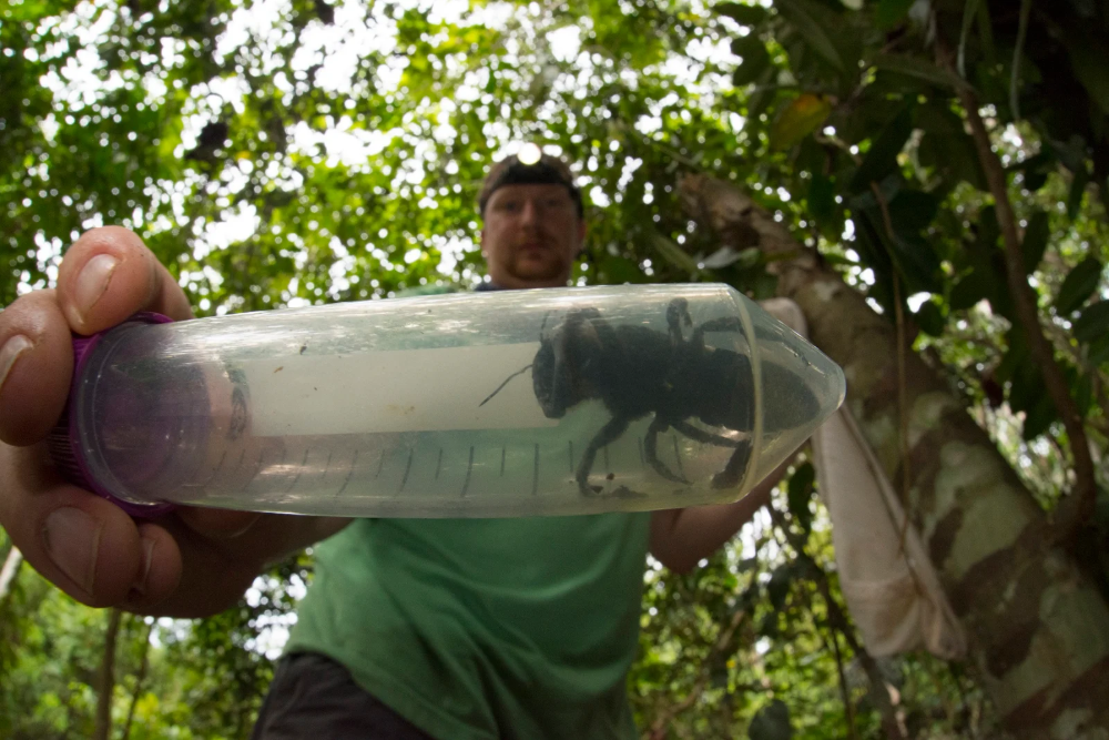 World's Biggest Bee, Once Thought Extinct, Has Been Found