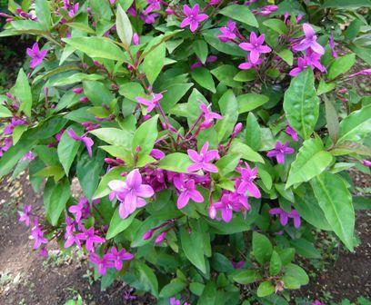 Pseuderanthemum laxiflorum Family: Acanthaceae Shooting Star, Star ...