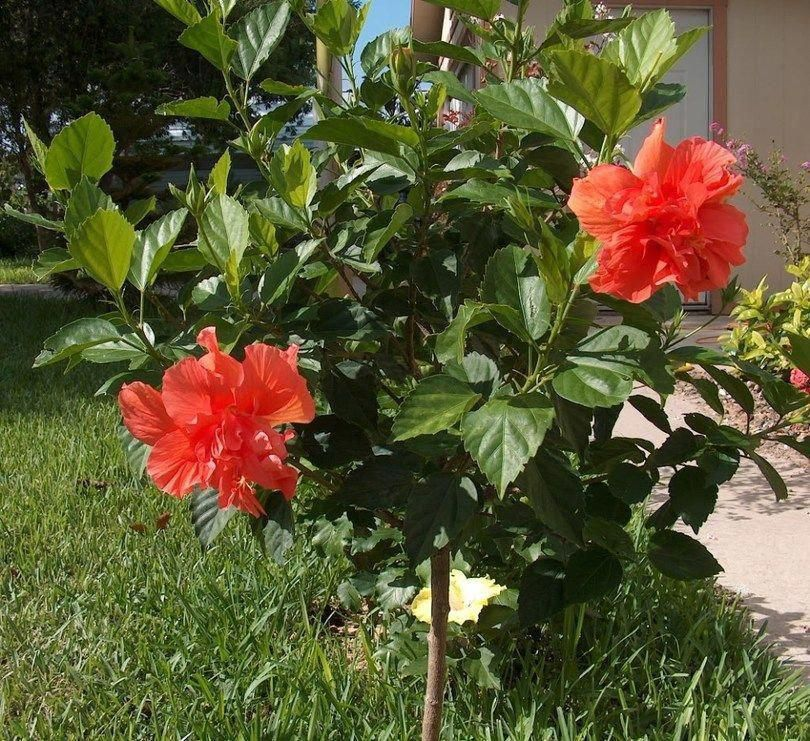Hibiscus Flower Bloom Holder Hibiscus Mreginahibiscos Belas