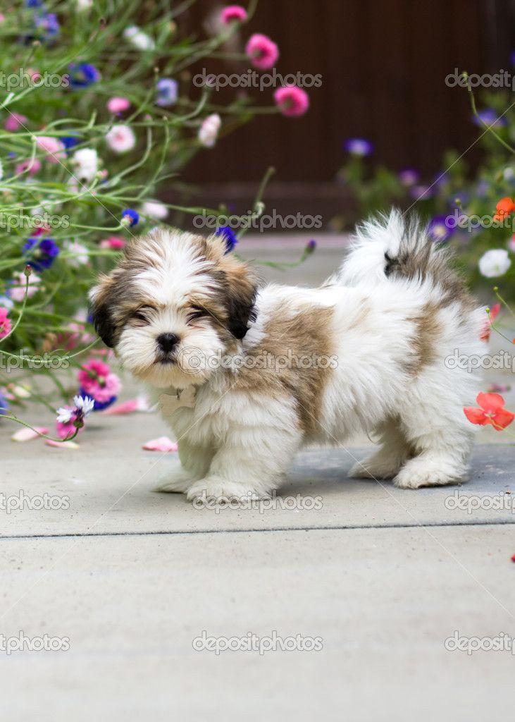Lhasa apso puppy lhasa apso puppies lhasa apso lhasa